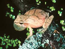 The spring peeper, a small frog.